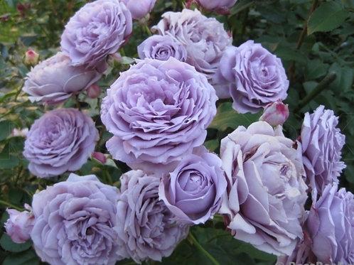 Роза флорибунда Новалис Novalis, сиреневая роза