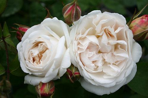 Белая английская роза Винчестер Кафедрал (Winchester Kathedral)