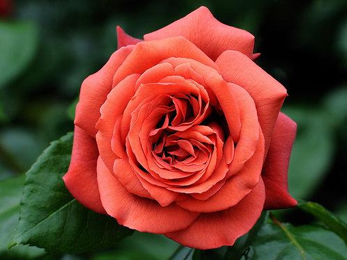Роза коричневая Терракота Terracotta купить саженцы москва
