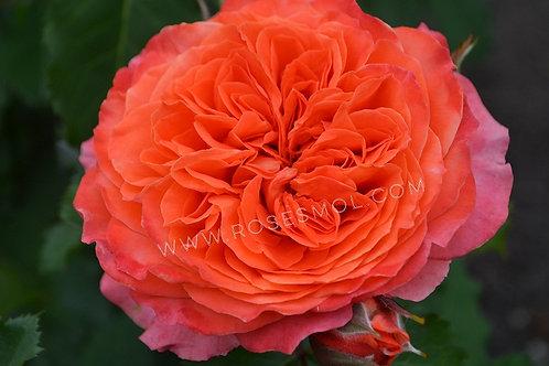 роза Эмильен Гийо Emilien Guillot оранжевая роза шраб