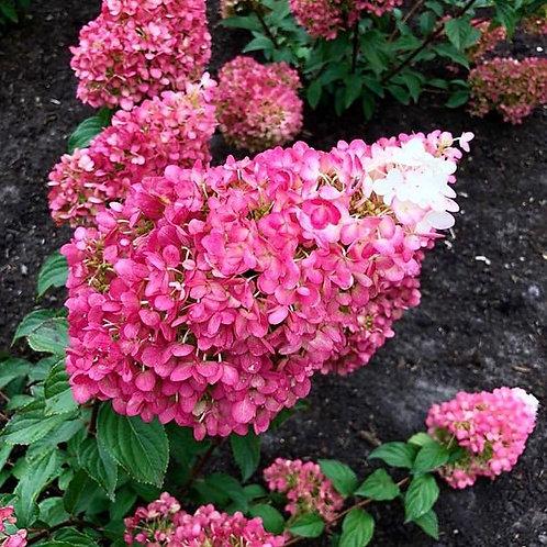 Гортензия метельчатая Строббери Блоссом Strawberry Blossom