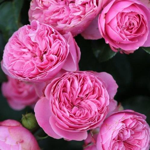 Роза розовая флорибунда Леонардо да Винчи (Leonardo da Vinci)