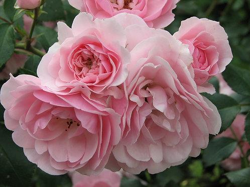 розовая флорибунда роза Боника (Bonica)