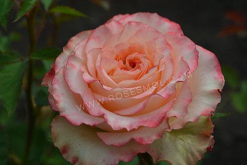 Дуэт (Duett) чайно-гибридная розовая роза с волнистыми лепестками