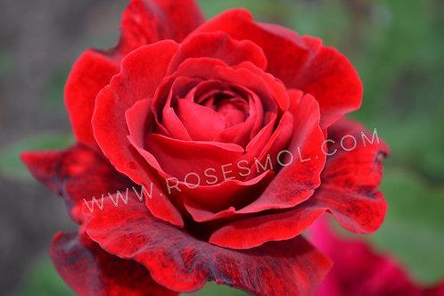 Роза красная Амадеус (Amadeus) плетистая