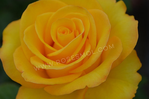 Керио (Kerio) чайно-гибридная желтая роза