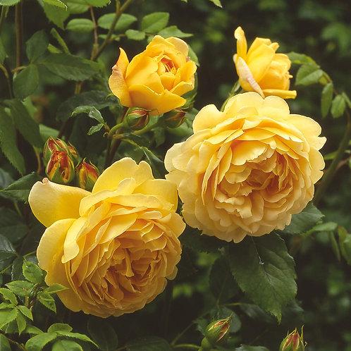 Роза Голден Селебрейшен Golden Celebration английская желтая роза