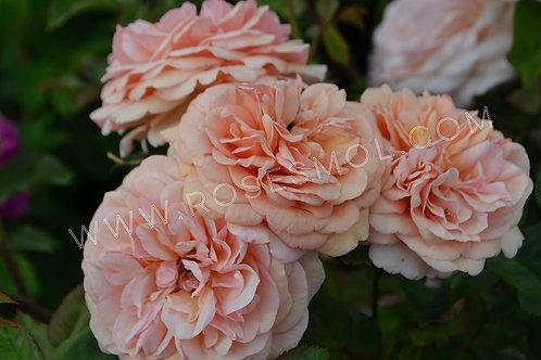 Английская роза Чарльз Остин (Charles Austin)