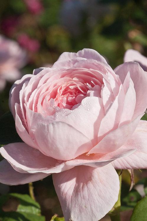 Куин оф Суиден (Queen of Sweden) Английская роза