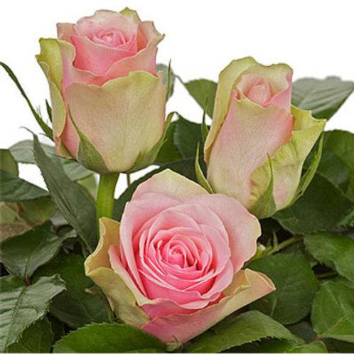 Ла Белль (La Belle) чайно-гибридная персиковая кремовая роза