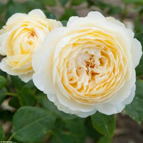 Английская роза Клэр Остин (Claire Austin) белая, кремовая пионовидная роза Дэвида Остина