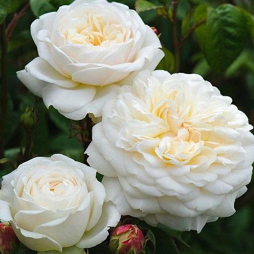 Транквилити (Tranquillity) Английская роза