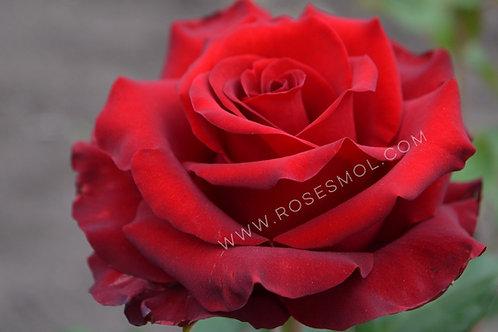 Роза чайно-гибридная Эксплорер Explorer