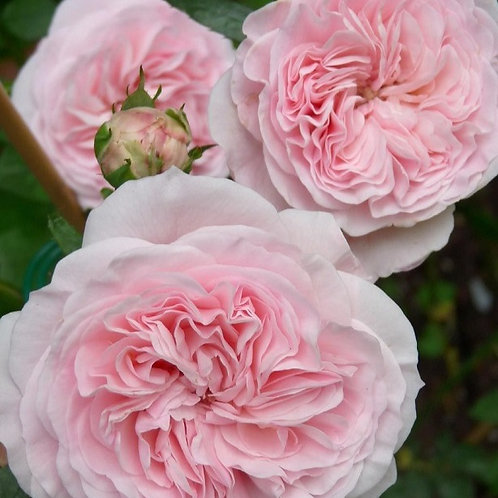 розовая флорибунда роза Мария Терезия Mariatheresia