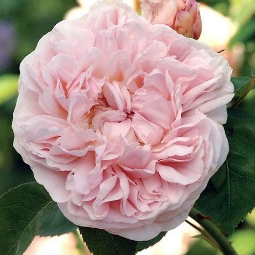 Сейнт Суизан (St. Swithun) Английская роза