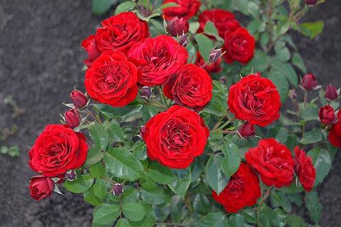 Роза красная флорибунда Лаваглют (Lavaglut)