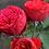 Роза Пиано (Piano) чайно-гибридная красная пионовидная