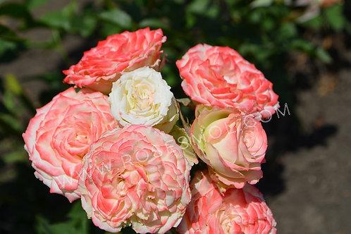 Роза спрей Йованка (Yovanka) кустовая бело-розовая роза