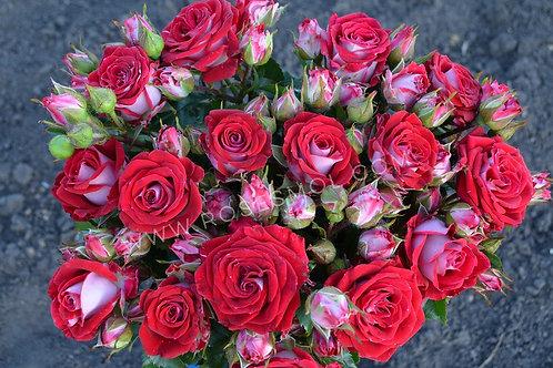Роза спрей кустовая Руби Стар Ruby Star красно-белая