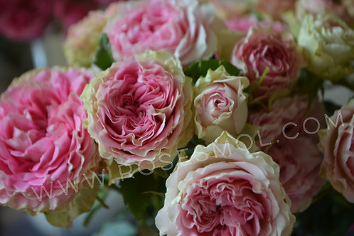 Сплеш Сенсейшн (Splash Sensation) розовая спрей роза
