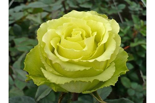 Роза Лимбо (Limbo) зеленая роза салатовая