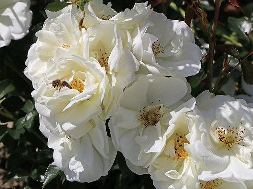 штамбовая белая роза Шнеефлоке Schneeflocke