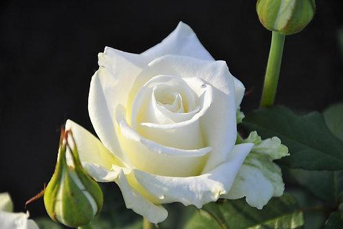Беля роза Боинг (Boeing) чайно-гибридная