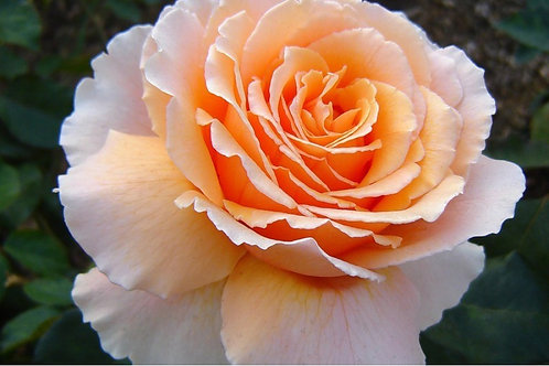 Роза чайно-гибридная Примадонна (Prima Donna) кремовая персиковая