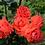 плетистая оранжевая роза Салита Salita