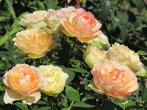 Джалита (Jalitah) чайно-гибридная кремовая роза