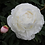 Thumbnail: Гардения (Gardenia) 3-5 почек