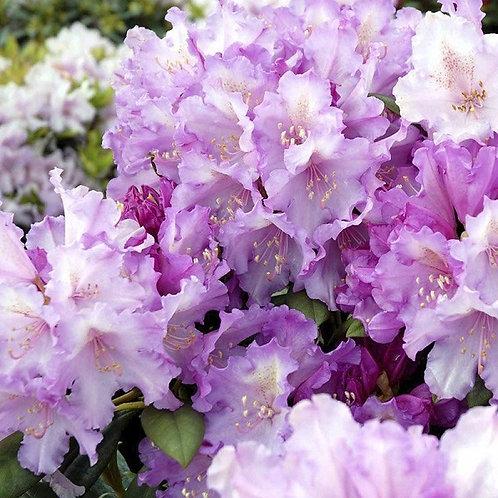 Рододендрон якушиманский Кэролайн Олбрук