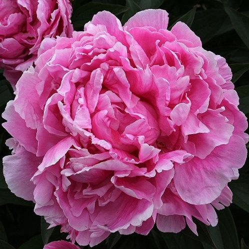 травянистый розовый пион Александр Флеминг (Alexander Fleming)