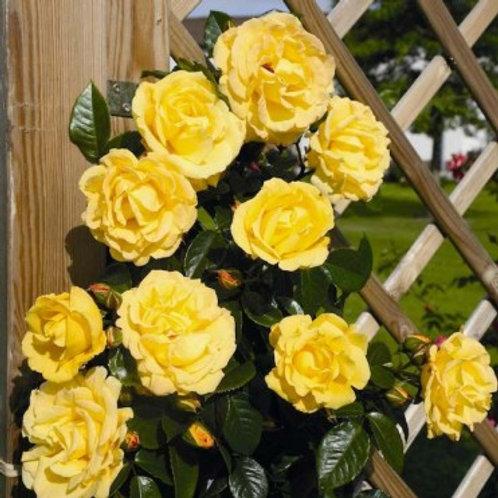 Плетистая желтая роза Голдштерн (Goldstern)