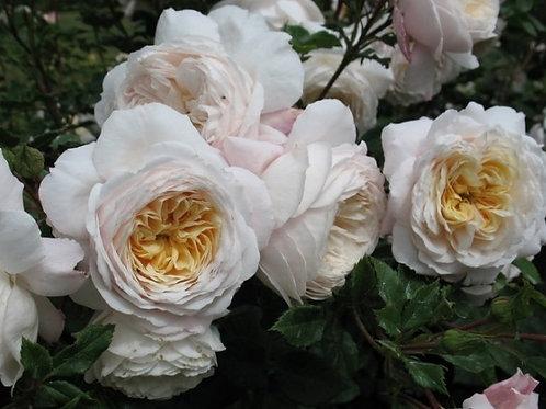 английская роза белая кремовая Крокус Роуз (Crocus Rose)