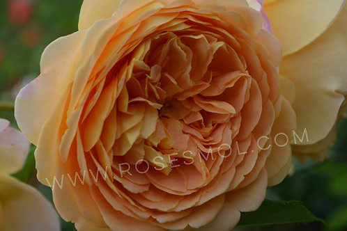 Роза английская Краун Принцесс Маргарет (Crown Princess Margareta) розы Дэвида Остина