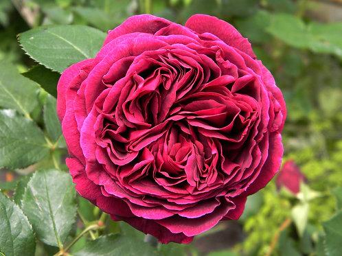 Фальстаф (Falstaff) Английская пионовидная малиновая роза
