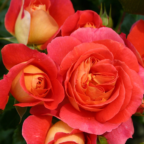 Роза Братья Гримм (Gebruder Grimm) флорибунда красно-желтая