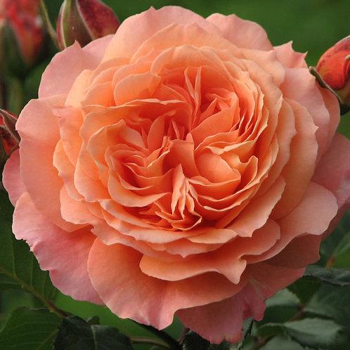 кустовая лососевая роза Мами Дитьер (Mamie Dittiere)