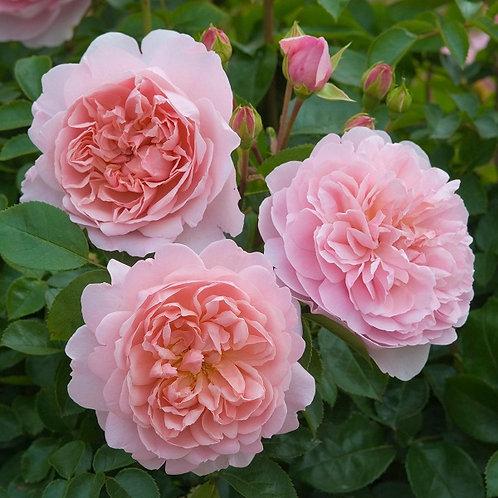Вайлдив (Wildeve) Английская роза