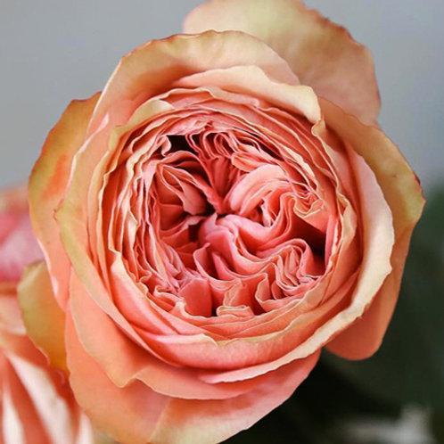Роза пионовидная Кахала (Kahala) чайно-гибридная персиковая
