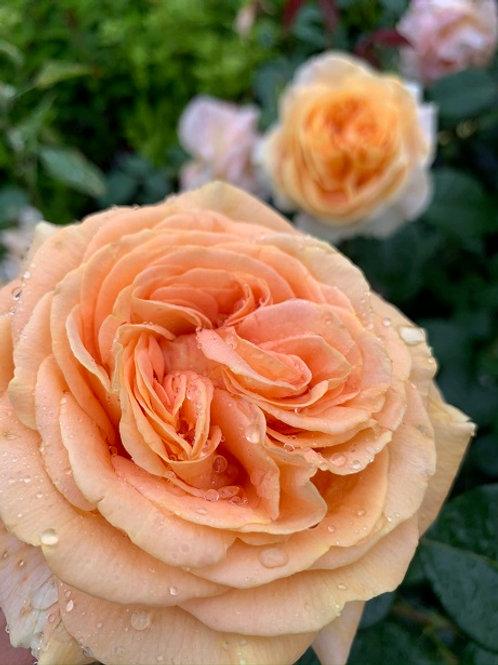 чайно-гибридная желтая роза Кэндллайт (Candlelight)