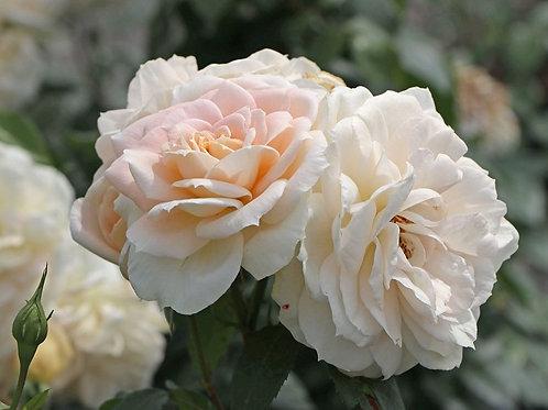 кремовая крупноцветковая флорибунда Лионс Роуз (Lion Rose)