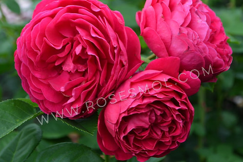 Роза пионовидная Аскот (Ascot) чайно-гибридная малиновая