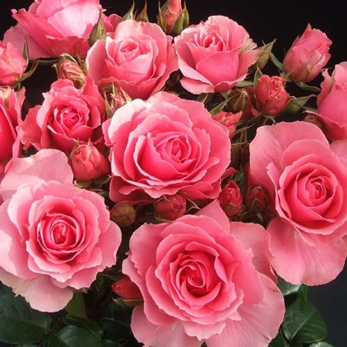розовая непрерывноцветущая флорибунда Ю ар Бьютифул (You're Beautiful)
