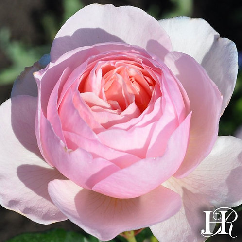 английская розовая роза хэритэйдж heritage остинка Rosesmol