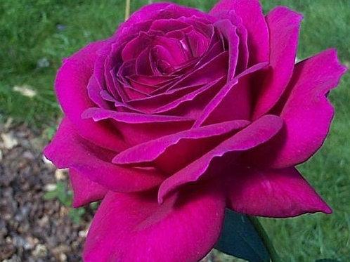роза чайно-гибридная юрианда yurianda