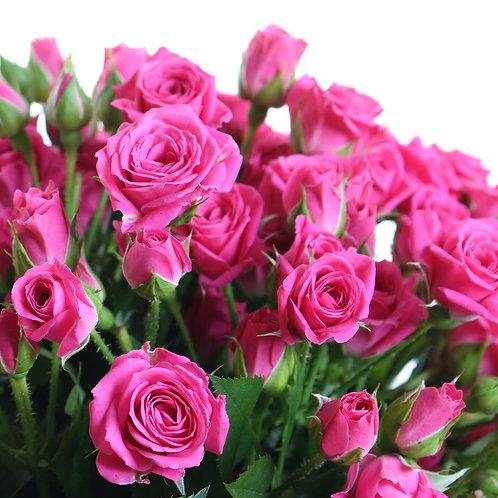 Роза спрей Лавли Лидия (Lovely Lidya) ярко розовая бордюрная