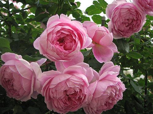 Английская розовая роза Алан Титчмарш (Alan Titchmarsh)
