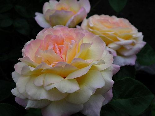 Глория Дей (Gloria Dei) чайно-гибридная желтая роза